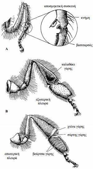 Εικόνα 13. Πρόσθιο (Α) και οπίσθιο (Β) πόδι της εργάτριας µέλισσας (από Winston, 1987).