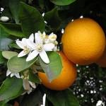 portokalia-150x150
