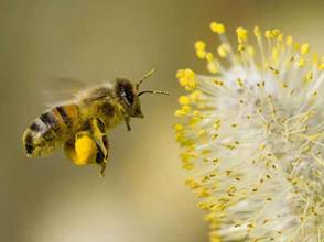 Η εργάτρια μέλισσα συλλέγει γύρη
