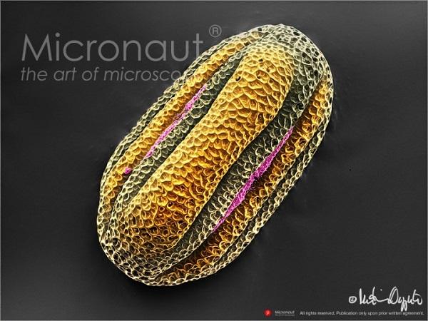 Micronaut-Pollen-Lamiaceae-56420-©-2