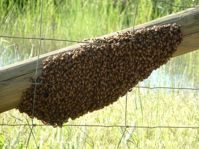 Αφεσμός μελισσών. Μέρος του πληθυσμού ενός μελισσιού, μαζί με την βασίλισσα εγκαταλείπει την κυψέλη οδεύοντας προς τη δημιουργία μιας καινούργιας αποικίας.