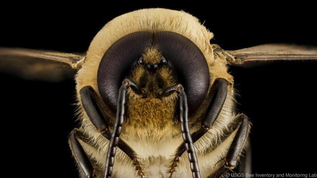 Τα μάτια του κηφήνα είναι πολύ μεγαλύτερα απ' των υπόλοιπων μελισσών ώστε να ανιχνεύουν τη βασίλισσα από μακριά κατά το πέταγμα τους προς τη γονιμοποίηση.