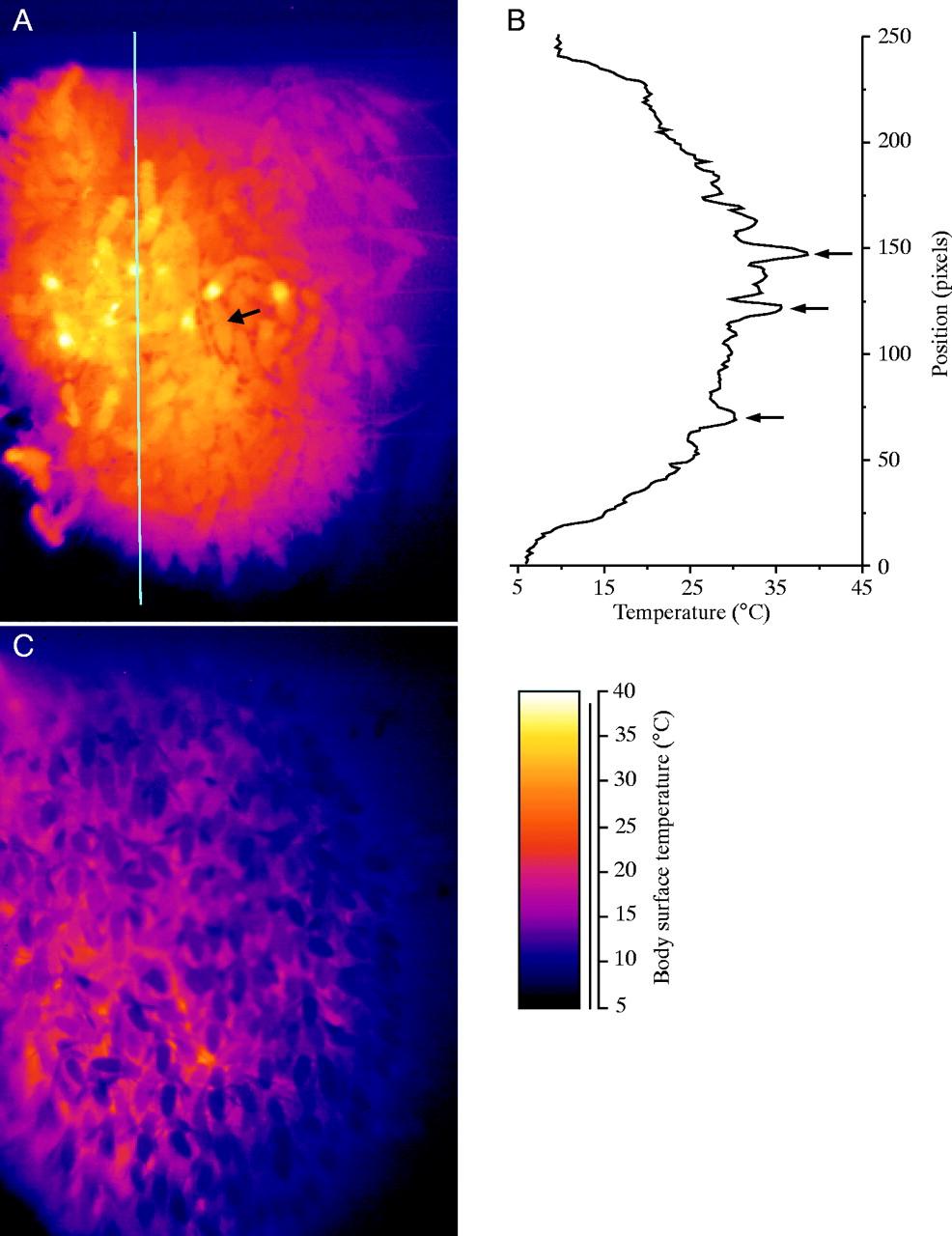 Υπέρυθρο θερμόγραμμα μελισσόσφαιρας με απουσια γόνου τον χειμώνα με θερμοκρασία περιβάλλοντος 5°C και κάτω. © The Company of Biologists Limited 2003